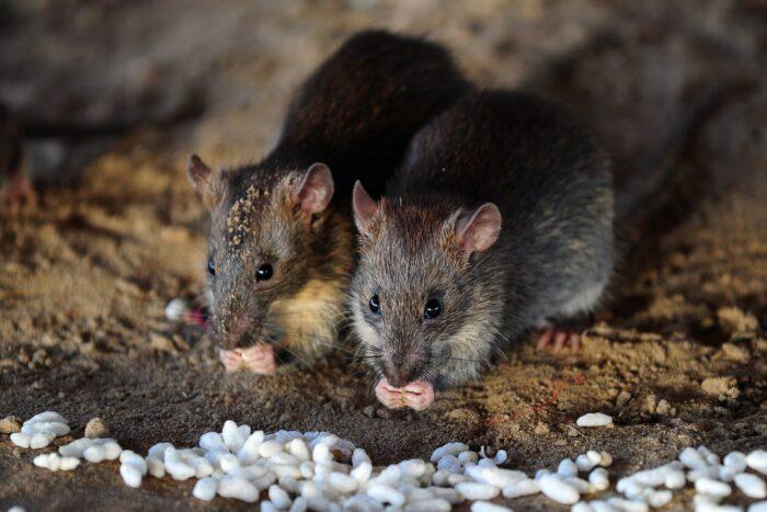سم للفئران