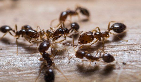 مكافحة النمل الاسود بالرياض