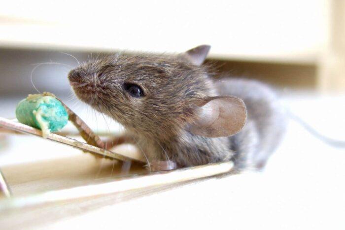 افضل سم للفئران