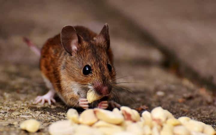 سم فئران